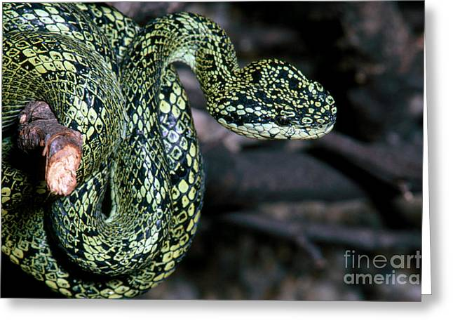Bothriechis Greeting Cards - Speckled Palm Viper Greeting Card by Gregory G. Dimijian, M.D.