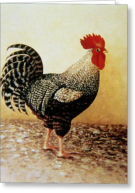 Eyes Wide Open Greeting Cards - Speckled Rooster  Greeting Card by Dory Coffee