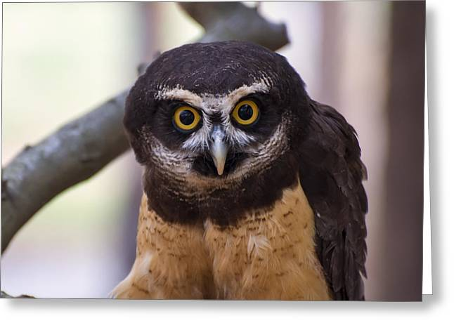 Owl Picture Greeting Cards - Spectacled owl Greeting Card by Chris Flees