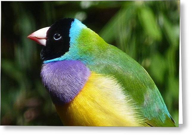 Spectacular Gouldian Finch Greeting Card by Margaret Saheed
