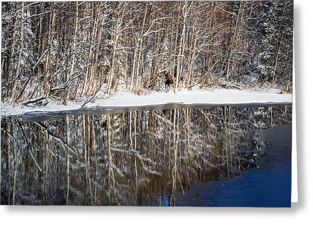 Willow Lake Greeting Cards - Spectacular Winter Moose Greeting Card by Ron Day
