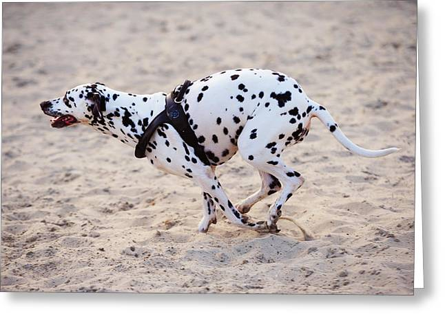 Spotted Dogs Greeting Cards - Speedy Girl. Kokkie. Dalmatian Dog Greeting Card by Jenny Rainbow