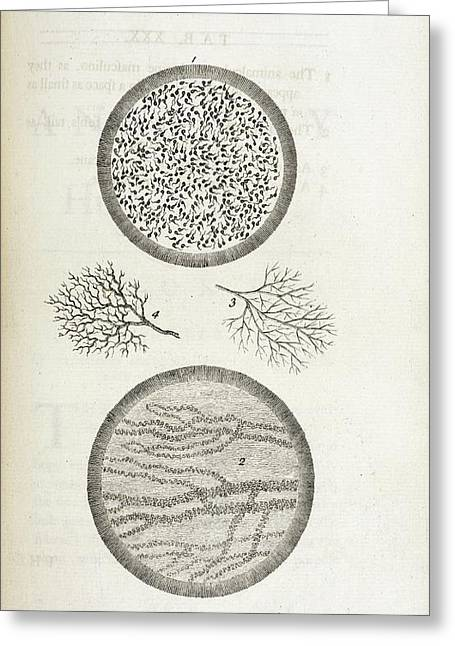 Sperm And Blood Microscopy Greeting Card by British Library