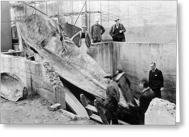 Eutheria Greeting Cards - Sperm whale excavation Greeting Card by Science Photo Library