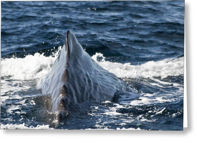 Ocean Mammals Greeting Cards - Sperm Whale ready to dive Greeting Card by Heiko Koehrer-Wagner