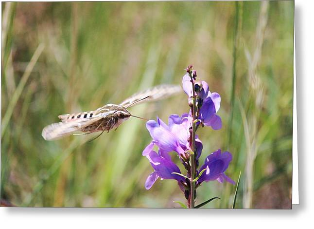Sphynx Art Greeting Cards - Sphinx Moth And Lupine Greeting Card by Barbara Chichester