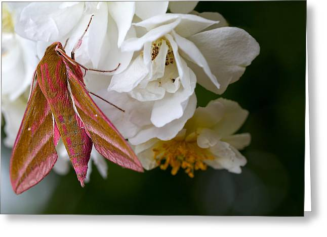 Moth Greeting Cards - Sphinx Moth on a Rose Greeting Card by Mr Bennett Kent