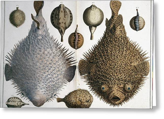 Sphoeroides Sp Pufferfish Greeting Card by Natural History Museum, London