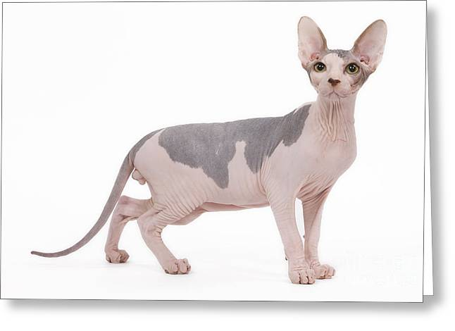 Sphynx Cat Portrait Greeting Cards - Sphynx Cat Greeting Card by Jean-Michel Labat