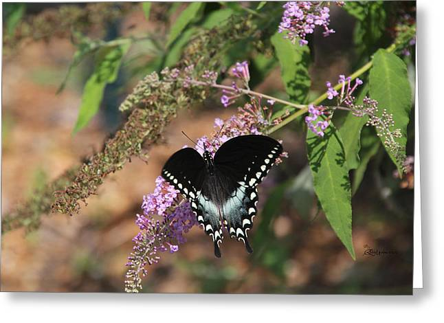 Spicebush Digital Art Greeting Cards - Spicebush Butterfly Greeting Card by EricaMaxine  Price