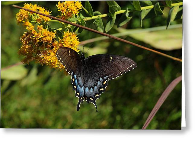 Southern Indiana Greeting Cards - Spicebush Swallowtail Greeting Card by Andrea Kappler