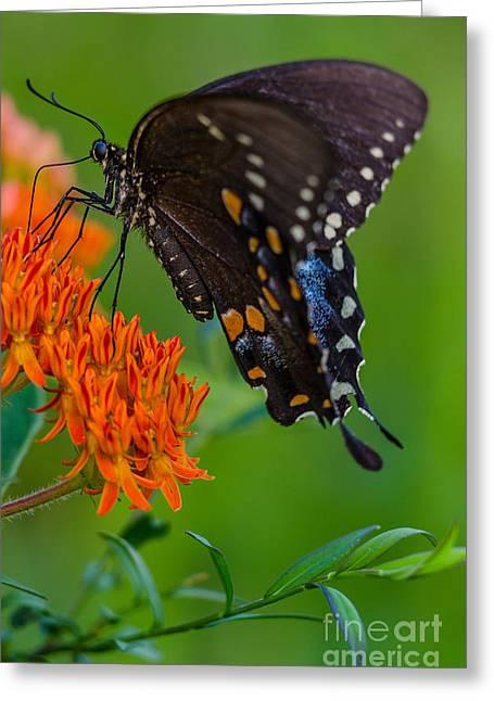 Spicebush Swallowtail Greeting Cards - Spicebush swallowtail Greeting Card by Anthony Heflin