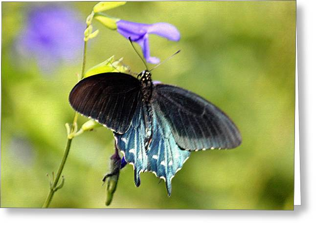 Spicebush Digital Art Greeting Cards - Spicebush Swallowtail Butterfly in Pastel Greeting Card by Suzanne Gaff
