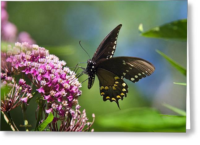 Spicebush Swallowtail Greeting Cards - Spicebush Swallowtail Butterfly on Pink Flower Greeting Card by Christina Rollo