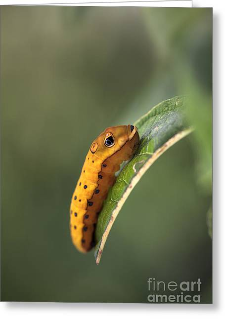 Spicebush Swallowtail Greeting Cards - Spicebush Swallowtail Caterpillar Prior to Pupation Greeting Card by Brandon Alms