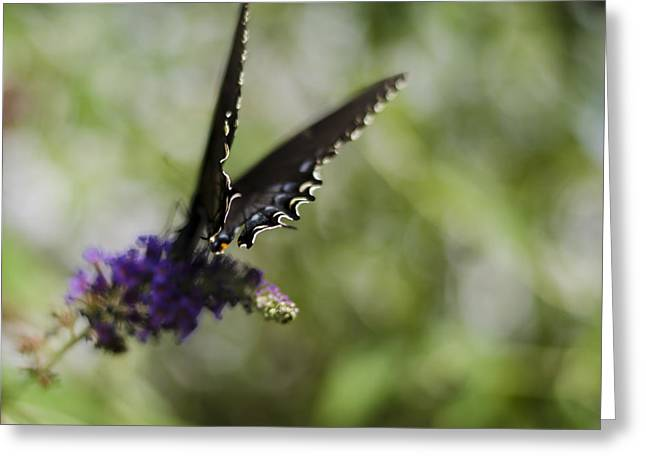 Spicebush Swallowtail Greeting Cards - Spicebush Swallowtail Greeting Card by Heather Applegate