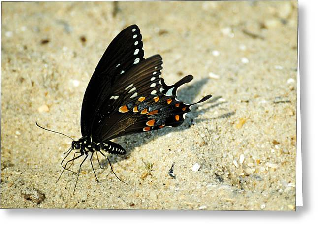 Lepidopterist Greeting Cards - Spicebush Swallowtail Papilio troilus  Greeting Card by Rebecca Sherman