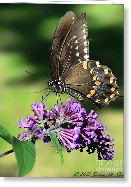 Susan M. Smith Greeting Cards - Spicebush Swallowtail Greeting Card by Susan Smith