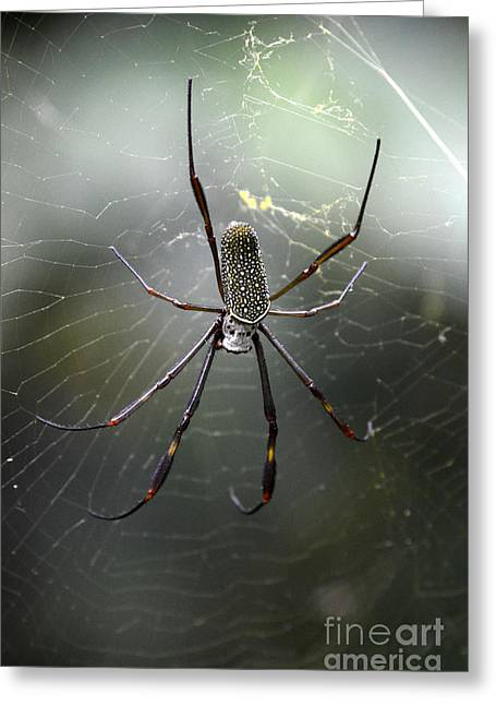 Invertebrates Greeting Cards - Spider Argentina Greeting Card by Bob Christopher