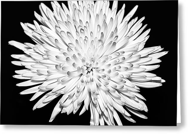 Mono Greeting Cards - Spider chrysanthemum Greeting Card by John Farnan