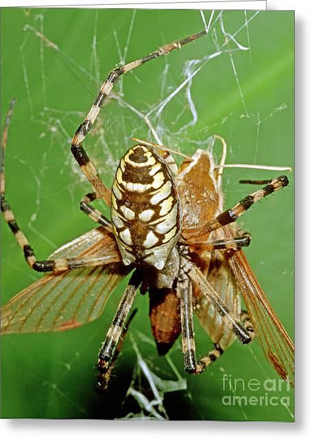 Spider Eating Moth Greeting Card by Millard H. Sharp