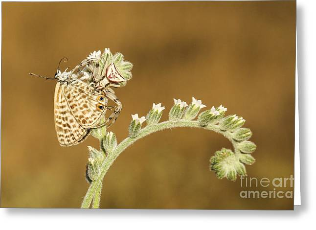 Butterfly Prey Greeting Cards - Spider feeds on a butterfly 3  Greeting Card by Alon Meir