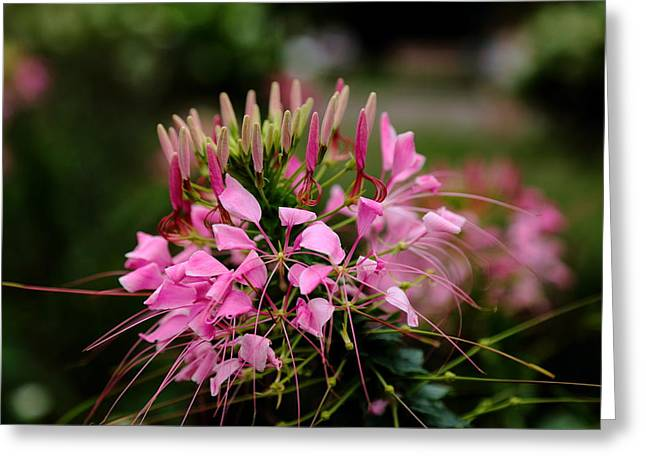 Cleome Flower Greeting Cards - Spider Flower Greeting Card by Scott Hill