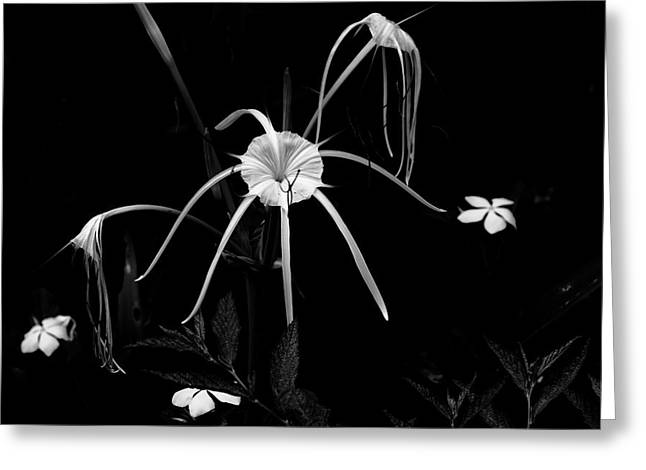 Spider Flower Greeting Cards - Spider Lily Greeting Card by Aidan Moran