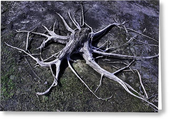 Manasquan Reservoir Greeting Cards - Spider Roots At Manasquan Reservoir Greeting Card by Gary Slawsky