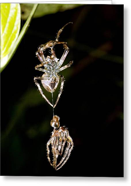 Shed Greeting Cards - Spider shedding its skin Greeting Card by Science Photo Library