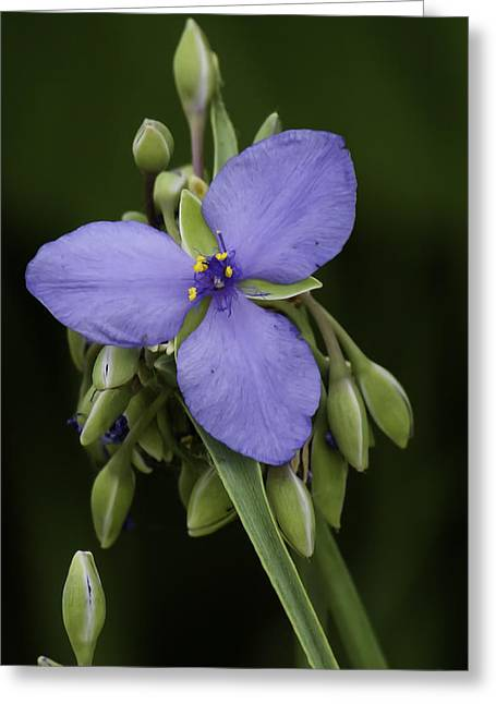 Slobber Greeting Cards - Spiderwort 2 Greeting Card by Thomas Young
