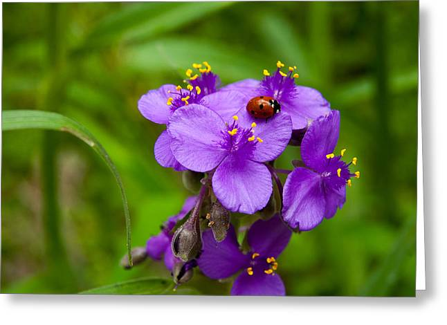 Spiderwort And Friend Greeting Card by Mark Weaver