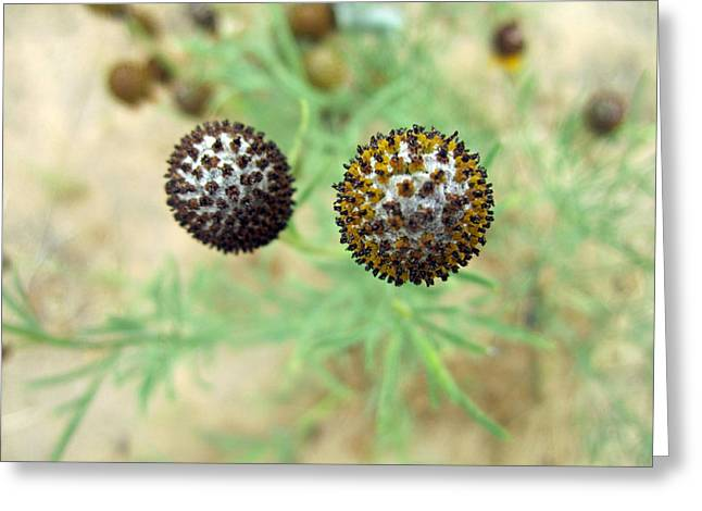 Flower Closeups Greeting Cards - Spiky Balls Greeting Card by Mike Podhorzer