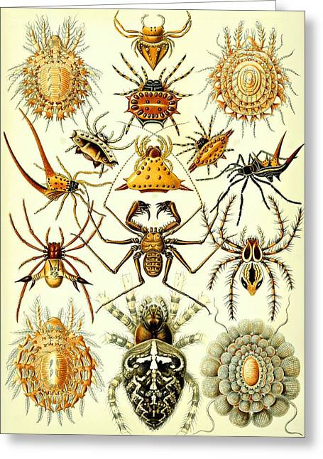 Arachnida Greeting Cards - Spin Arachnids Insect Haeckel Arachnida Araneae Greeting Card by Movie Poster Prints