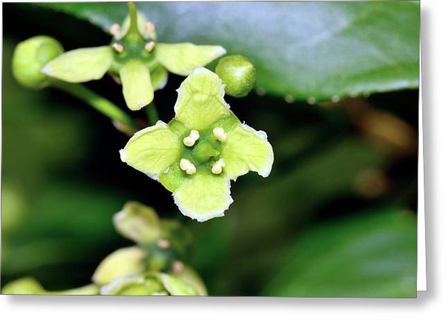 Spindle (euonymus Europaeus) Flowers Greeting Card by Bruno Petriglia