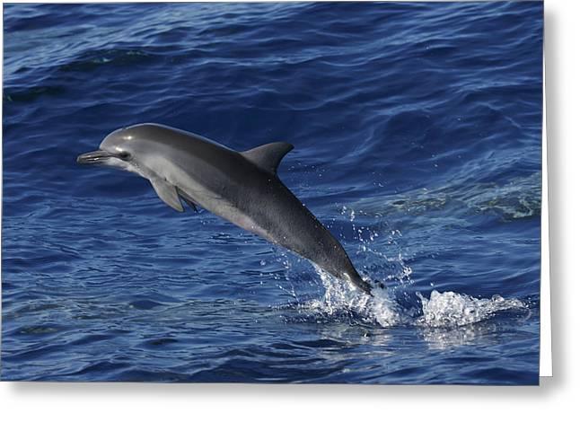 Spinner Dolphin Greeting Cards - Spinner Dolphin Jumping Ogasawara Isl Greeting Card by Hiroya Minakuchi