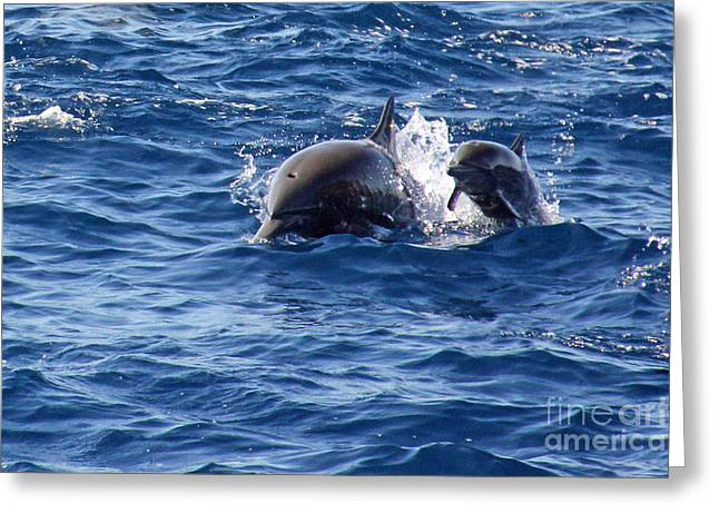 Waterlife Greeting Cards - Spinner Dolphins Greeting Card by Bob Hislop