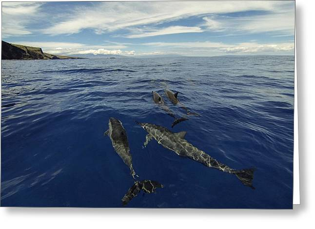 Spinner Dolphin Greeting Cards - Spinner Dolphins of Lanai Greeting Card by Brad Scott