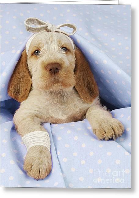 Humorous Greeting Cards Greeting Cards - Spinone Puppy Dog Greeting Card by John Daniels