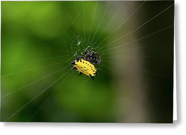 Spiny Orbweaver Spider Greeting Card by Nicolas Reusens