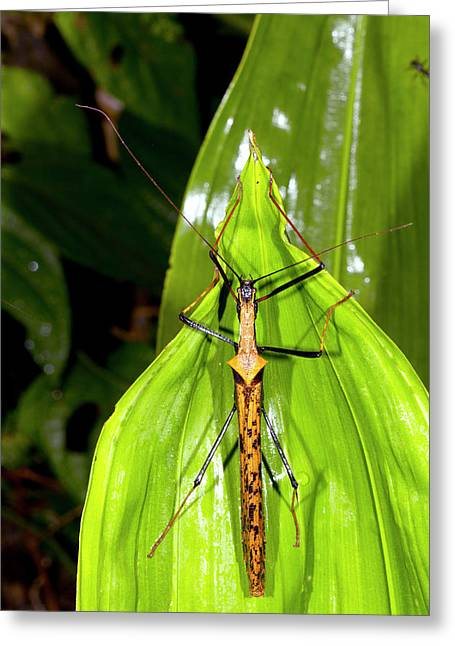 Spiny Stick Insect Greeting Card by Dr Morley Read