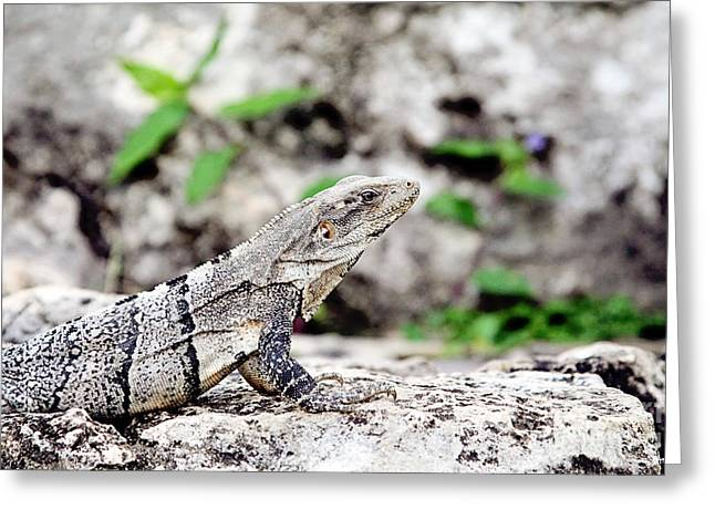 Cold Blooded Greeting Cards - Spiny Tailed Iguana Greeting Card by Scott Pellegrin