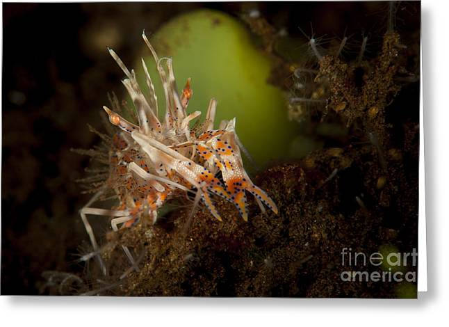 The Tiger Greeting Cards - Spiny Tiger Shrimp Amongst Volcanic Greeting Card by Steve Jones