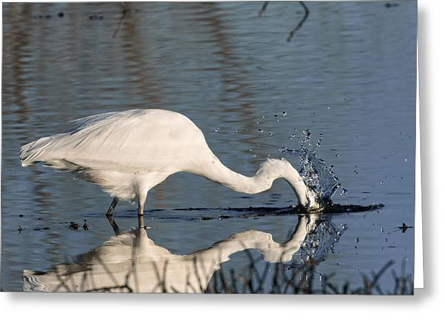 Wildlife Refuge. Greeting Cards - Splash Down Greeting Card by Kathleen Bishop