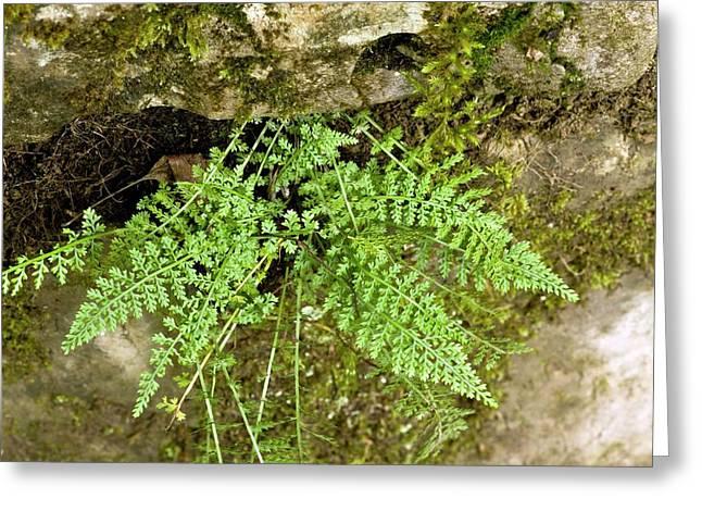 Spleenwort (asplenium Fontanum) Greeting Card by Bob Gibbons