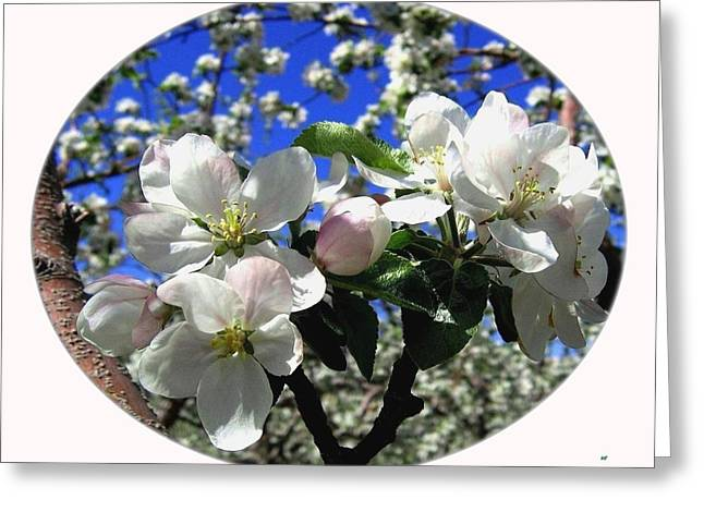 Splendid Apple Blossoms Greeting Card by Will Borden