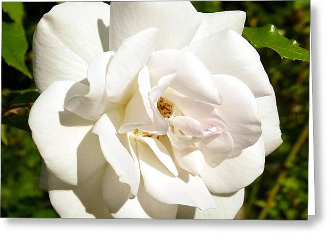 Decorative. Country Greeting Cards - Splendid Iceberg Rose Greeting Card by Will Borden