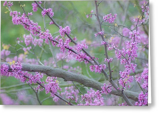 Pink Blossoms Greeting Cards - Splendor Of Spring 2 Greeting Card by Fraida Gutovich