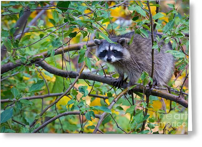 Spokane Greeting Cards - Spokane Raccoon Greeting Card by Inge Johnsson