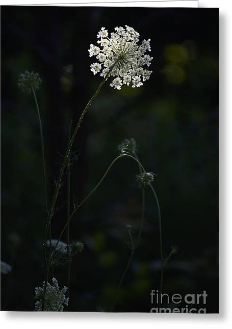 Sunlight On Flowers Greeting Cards - Spot Light on Queen Anne Greeting Card by Jocelyn Ball